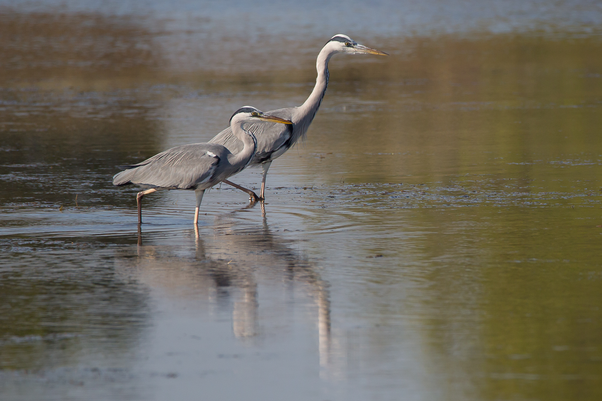 nature-et-photographie-photographie-animaliere-herons-cendres-2